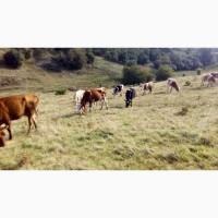 Продам корову ( терміново )