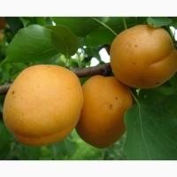 Пропонуєм саджанці абрикоса Голд Річ. В роздріб та оптом. Ціна договірна
