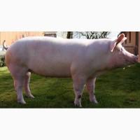 Продам свиней мясная порода