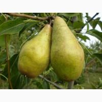 Живці груші, яблуні, абрикоса, черешні, сливи, персика, нектарина для щеплення
