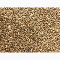 Пшениця фуражна