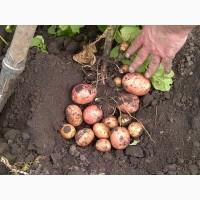 Картофель посадочный опт цена 6 грн. сорт беллороза опт 25 тонн