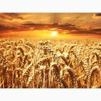 Семена озимой пшеницы Колония 1-реп. (Лимогрейн)