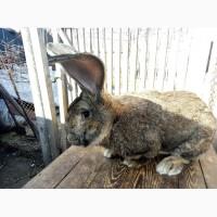 Обмен чистокровных кроликов баран, фландр на солому, зерновые