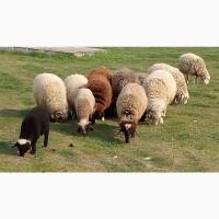 Продаются ягнята, бараны, овцематки. Живым весом