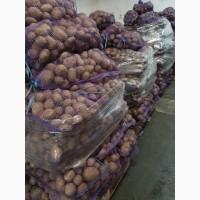 Продам товарну картоплю МЕЛОДІ та ГАЛА