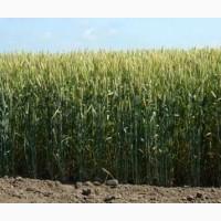 Пропоную купити насіння озимої пшениці сорту Подолянка 1-Р