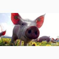 САПОКОРМ - минеральная добавка для откорма свиней