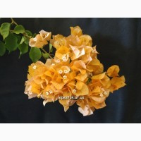 Бугенвиллия Australion Gold(махровая оранжевая)
