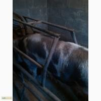 Продам станок для опороса и содержания свиноматки