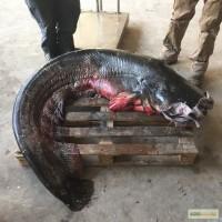 Продам рыбу свежую речную