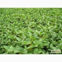 Продаємо насіння сої Вільшанка, 1 репродукція