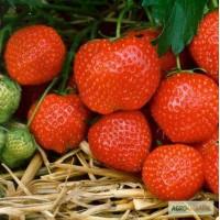 Продам саджанці полуниці, сорт Пандора