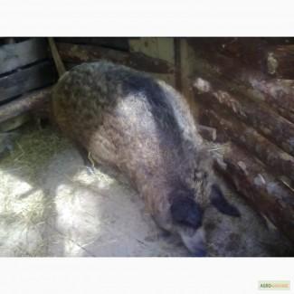Поросята, свинки, венгерская монгалица, поросята мангалица, мангал