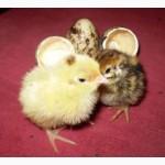 Яйцо инкубационное перепела Фараон Испанский и молодняк