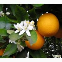 Растаможим апельсины