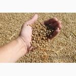 Купим некондицию зерновых