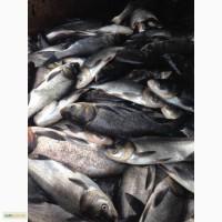 Продам зарибок коропа и товстолоба наважка 250 гр двох річка