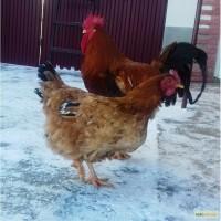 Продам інкубаційне яйце та ціплятакурей породи оргпінтон