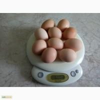 Продам инкубационные яйца домашних кур, смешанных мясояичных пород