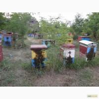Пчелы Пчелопакеты