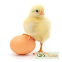 Продам яйцо куриное оптом от преизводителя