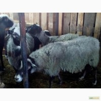 Породам овец Романовской породы