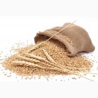 Куплю пшеницу фуражную за наличку