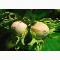 Саженцы фундука(вегетативные горизонтальные отводки)