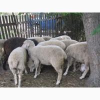 Продам овец, баранов
