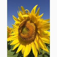 Продам семена подсолнечника гибрид ПАТРИОТ F1 90 дней. Економ, Стандарт, Екстра