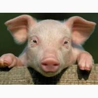 Продам свинью живой вес 45 грн/кг