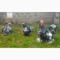 Кохінхін Мраморний інкубаційні яйця