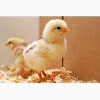 Продам цыплят пород бройлер кобб 500, мастер грей, фокси чик
