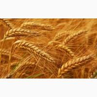 Куплю пшеницу 1- 6кл отходи на самовивоз