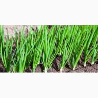 Лук зеленый из сорта Штутгарт полный эко-цикл выращивания 100% натуральный