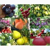 Продам різновиди плодових дерев(сливи, груші, черешні, вишні, абрикоси)