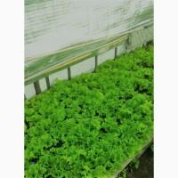 Салат листковий