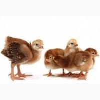 Предложение о покупке яиц для инкубации Фокси Чик