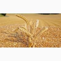 Велика компанія на постійній основі закуповує пшеницю