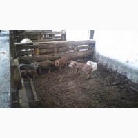 Продам поросят и свиней Венгерской мангалицы