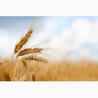 Закупаем пшеницу, ячмень