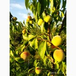 Маньчжурский персик