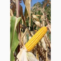 Порумбени 461 семена кукурузы