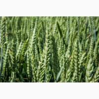 Пшениця озима Колонія