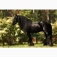 Фризские лошади НАЛИЧИЕ