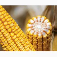 Насіння кукурудзи Adevey / Адевей (ФАО-290) Аграрні Стратегії