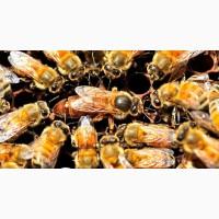 Матки-Пчеломатки-УС и Карпатка 2019 года плодные В наличии