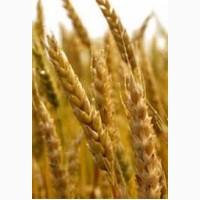 Пшениця. Закупівля