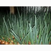 Продам зеленый лук (перо), 90 грн